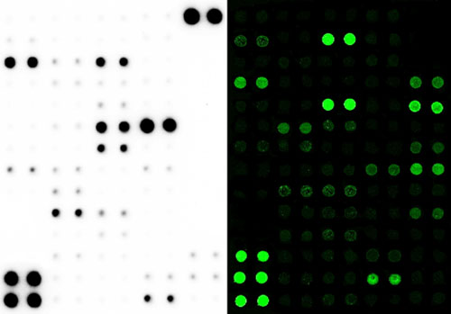 Figure 6. Antibody array images. (Top) Chemiluminescent detection of protein signal using a membrane-based array. (Bottom) Fluorescent detection of protein signal using a glass slide-based array.