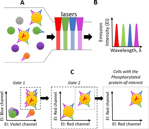 "Figure 3. Schematic of the flow cytometry process. A) Cells representing different cell types are incubated with fluorescently-conjugated antibodies targeting proteins-of-interest. Each different antibody has a specific fluorophore. Y = antibody, where the differently-colored antibodies represent different fluorophores. B) The flow cytometer uses lasers to interrogate the cell size, shape, and fluorescence emission intensity (EI) of each cell. C) The cell population-of-interest can be selected with the correct combination of fluorophores (""gating""). Using this strategy, cells-of-interest can be counted and characterized."