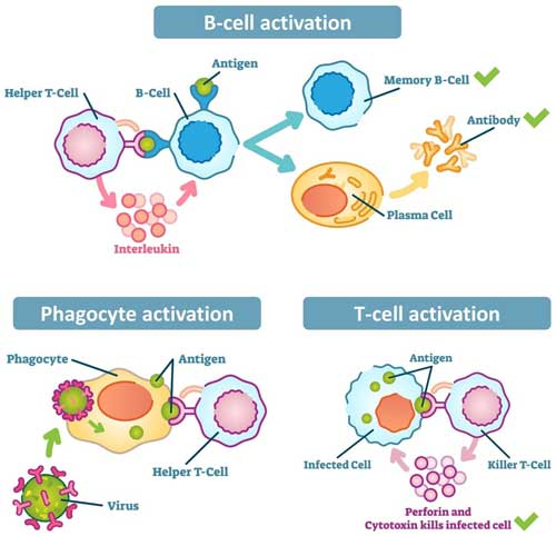 Helper T cells play essential roles in the adaptive immune response