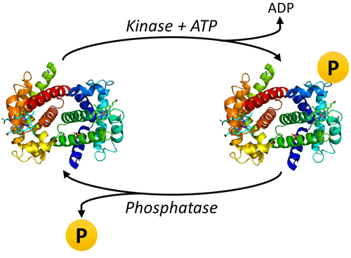 Figure 1. Addition and removal of protein phosphorylation via kinases and phosphatases.