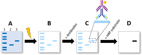 Figure 2. Western blotting procedure to detect phosphorylated proteins. A) Proteins are separated via SDS-PAGE where lane 1 = protein ladder, lane 2 = unphosphorylated protein, and lane 3 = phosphorylated protein. B) Proteins are transferred to a membrane via voltage. C) The membrane is incubated with an antibody specific to the phosphorylated site-of-interest and then an HRP-conjugated secondary antibody. D) After an HRP substrate is added, antibody binding (to the band representing the phosphorylated protein) is detected via chemiluminescence.