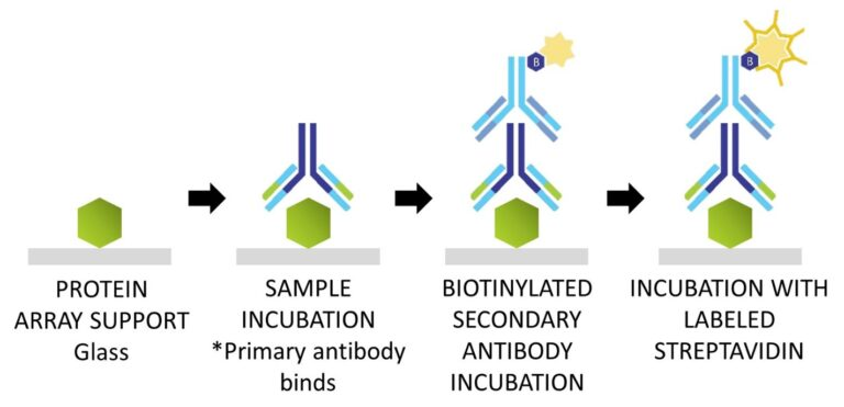 General schematic of the steps involved in processing a protein array